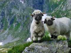sheep, swiss, гора