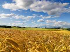поле, небо, пшеница