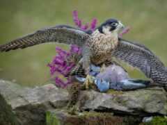 птица, перепелятник, голубь