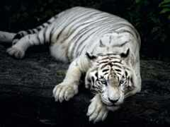 тигр, white, funart
