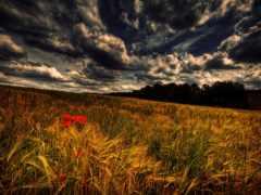 колосьями, поле, картинка