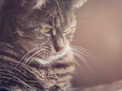 кот, взгляд, морда