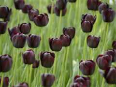 тюльпаны, tulips, цветы