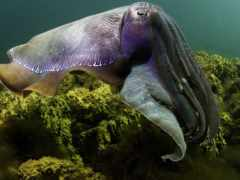 cuttlefish, кальмары, гигантская