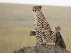 кошки, free, гепарды