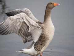 goose, гуси, птицы