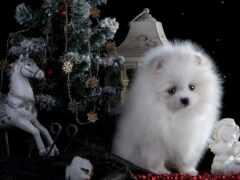 pomeranian, собака, christmas