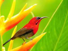 птичка, птицы, красная