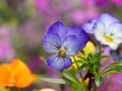 глазки, cvety, анютины