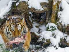 тигр, кот, animal
