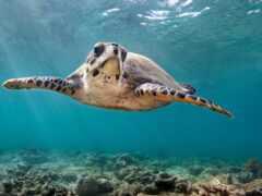 черепаха, animal