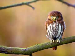сова, птица, branch