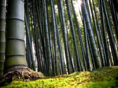 бамбук, japanese, лес