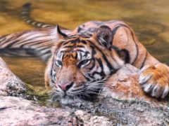 тигр, sumatran, воде