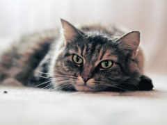 кот, striped, кошки