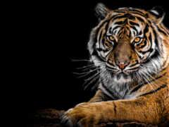 тигр, animal, row