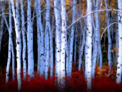 breza, tapety, stromy