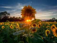 pinterest, ideas, sunflowers