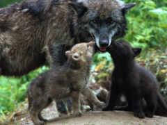 волков, волки, красивые