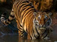 тигр, zhivotnye, большие