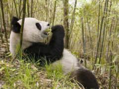 zhivotnye, природа, бамбук