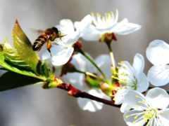 цвету, весна, яблоня