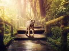 джунгли, тигр, белый