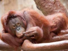 обезьяна, орангутан, animal