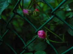 розы, макро