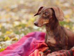 dachshund, коричневая, собаки