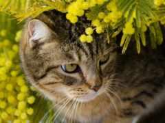 mimosa, кот, branch