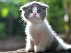 кот, кошки, двухцветная