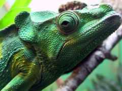 chameleon, фон, взгляд
