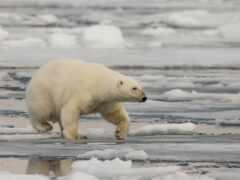медведь, polar, лед