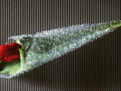 garden, роза, korde