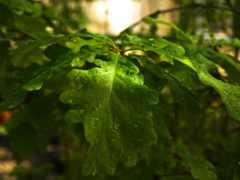 дуб, листва, дуба