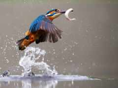 pure, swift, kingfisher