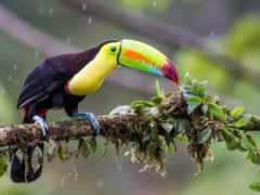 toucan, billed, радуга