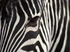 зебра, animals
