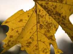 maple, leaf, браун