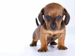 щенок, dachshund, собаки