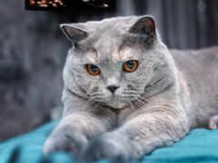 кот, серый, british