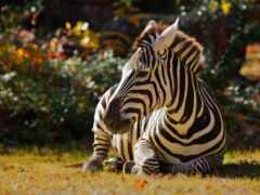 zebra, funart, onlainzebra