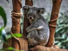 коала, website, коллекция