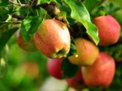 дерево, плод, peresadit