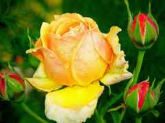 роза, листья, розы