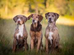 porte, dogs, собака