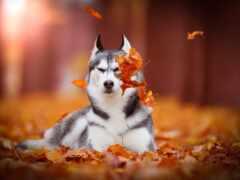 хаска, собака, осень