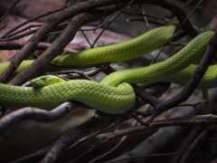 животное, змея, mamba