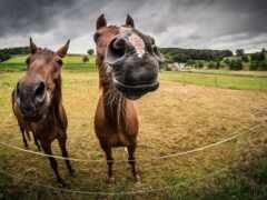 caballo, mocah, лошадь